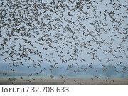 Dense flock of wild ducks, huge flock taking off, lifting off, starting, flying away from marshland, dynamic action shot, wildlife, Europe. ( Стоковое фото, фотограф Ralf Kistowski / age Fotostock / Фотобанк Лори