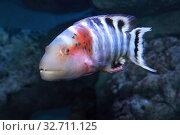 Купить «Красногрудый хейлин (Cheilinus fasciatus) морская рыба», фото № 32711125, снято 15 декабря 2019 г. (c) Татьяна Белова / Фотобанк Лори
