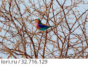 A lilac brested roller in Etosha national park Namibia. Стоковое фото, фотограф Zoonar.com/Matthieu Gallett / easy Fotostock / Фотобанк Лори