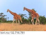 Two giraffes walking in the samburu national park kenya. Стоковое фото, фотограф Zoonar.com/matthieu gallet / easy Fotostock / Фотобанк Лори