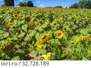 Купить «Sunflower farm in Traverse City Michigan.», фото № 32728189, снято 10 августа 2019 г. (c) age Fotostock / Фотобанк Лори