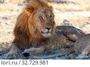 Lion having rest in etosha national park namibia. Стоковое фото, фотограф Zoonar.com/matthieu gallet / easy Fotostock / Фотобанк Лори