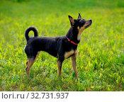 Купить «Toy terrier on the spring grass», фото № 32731937, снято 29 марта 2020 г. (c) easy Fotostock / Фотобанк Лори