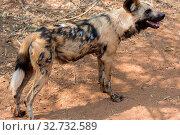 Wild dog Kruger National Park. Стоковое фото, фотограф Zoonar.com/matthieu gallet / easy Fotostock / Фотобанк Лори