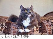 Серый кот лежит на кровати и смотрит вверх. Стоковое фото, фотограф Елена Коромыслова / Фотобанк Лори