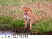Lioness drinking at the masai mara national park kenya. Стоковое фото, фотограф Zoonar.com/matthieu gallet / easy Fotostock / Фотобанк Лори