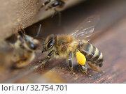 Купить «Berlin, Germany, honey bee with pollen in front of the entrance hole of a beehive», фото № 32754701, снято 4 апреля 2018 г. (c) Caro Photoagency / Фотобанк Лори