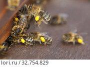 Купить «Berlin, Germany, honey bees with pollen in front of the entrance hole of a beehive», фото № 32754829, снято 4 апреля 2018 г. (c) Caro Photoagency / Фотобанк Лори