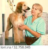Купить «woman hairdresser cuts Afghan puppy Shepherd in beauty salon for animals», фото № 32758045, снято 17 октября 2017 г. (c) Татьяна Яцевич / Фотобанк Лори