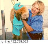 Купить «mature woman hairdresser wipes puppy of Afghan hound in hairdresser for dogs», фото № 32758053, снято 17 октября 2017 г. (c) Татьяна Яцевич / Фотобанк Лори