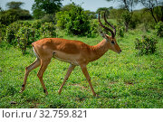 Male impala in profile walking past bushes. Стоковое фото, фотограф Zoonar.com/nwd / easy Fotostock / Фотобанк Лори