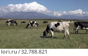 Купить «Group of black and white cows pasturing in farm field, eat green grass on background of volcanoes and blue sky, sunny weather», видеоролик № 32788821, снято 19 сентября 2019 г. (c) А. А. Пирагис / Фотобанк Лори
