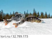 Купить «Рыба окунь на снегу на зимней рыбалке», фото № 32789173, снято 25 марта 2018 г. (c) Наталья Осипова / Фотобанк Лори