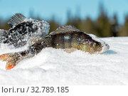 Купить «Рыба окунь на снегу на зимней рыбалке», фото № 32789185, снято 25 марта 2018 г. (c) Наталья Осипова / Фотобанк Лори