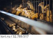 quail bird farm egg cage organic animal poultry. Стоковое фото, фотограф Mark Agnor / Фотобанк Лори
