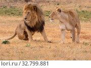 Male and female lion. Стоковое фото, фотограф Zoonar.com/Matthieu Gallett / easy Fotostock / Фотобанк Лори