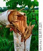 Купить «Umgeknickte junge Birke nach einem heftigen Sturm in der Natur», фото № 32811221, снято 1 июня 2020 г. (c) easy Fotostock / Фотобанк Лори