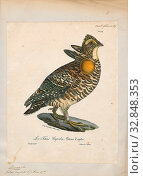 Bonasa cupido, Print, Ruffed grouse, The ruffed grouse (Bonasa umbellus) is a medium-sized grouse occurring in forests from the Appalachian Mountains across... Редакционное фото, фотограф ARTOKOLORO QUINT LOX LIMITED / age Fotostock / Фотобанк Лори