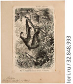Bradypus didactylus, Print, Linnaeus's two-toed sloth (Choloepus didactylus), also known as the southern two-toed sloth, unau, or Linne's two-toed sloth... Редакционное фото, фотограф ARTOKOLORO QUINT LOX LIMITED / age Fotostock / Фотобанк Лори