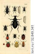 Купить «Beetle species 2, Collection of various beetles, signed: Jac., Storm pinx, et sc, Table II, after p, Sturm, Jacob (pinx. et sc.), Christian Creutzer: Entomologische...», фото № 32849341, снято 1 июня 2020 г. (c) age Fotostock / Фотобанк Лори