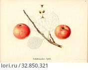 Shoemaker apple, Swiss apple variety, Signed: Color print by J. Tribelhorn, Fig. 39, Tribelhorn, J. (imp.), 1863, Schweizerisch. Landwirtschaftl. Verein... Редакционное фото, фотограф ARTOKOLORO QUINT LOX LIMITED / age Fotostock / Фотобанк Лори