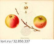 Rother Szczecin, Swiss apple variety, Signed: Color print by J. Tribelhorn, Fig. 44, Tribelhorn, J. (imp.), 1863, Schweizerisch. Landwirtschaftl. Verein... Редакционное фото, фотограф ARTOKOLORO QUINT LOX LIMITED / age Fotostock / Фотобанк Лори