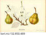 Marxen bulb, Swiss pear variety, Signed: Farbendruck v., J. Tribelhorn, Fig. 23, Tribelhorn, J. (imp.), 1863, Schweizerisch. Landwirtschaftl. Verein (Hg... Редакционное фото, фотограф ARTOKOLORO QUINT LOX LIMITED / age Fotostock / Фотобанк Лори