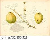 Summer spice apple, Swiss apple variety, Signed: Color print by J. Tribelhorn, Fig. 40, Tribelhorn, J. (imp.), 1863, Schweizerisch. Landwirtschaftl. Verein... Редакционное фото, фотограф ARTOKOLORO QUINT LOX LIMITED / age Fotostock / Фотобанк Лори