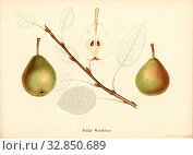 Early wine pear, Swiss pear variety, Signed: Farbendruck v., J. Tribelhorn, Fig. 42, Tribelhorn, J. (imp.), 1863, Schweizerisch. Landwirtschaftl. Verein... Редакционное фото, фотограф ARTOKOLORO QUINT LOX LIMITED / age Fotostock / Фотобанк Лори
