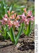 """Розовые гиацинты сорта """"Джипси Куин"""" (лат. Hyacinthus Gypsy Queen) цветут в саду. Стоковое фото, фотограф Елена Коромыслова / Фотобанк Лори"""