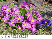 Примула обыкновенная (лат. Primula vulgaris) цветет в весеннем саду. Стоковое фото, фотограф Елена Коромыслова / Фотобанк Лори