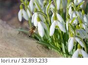 Купить «Пчела и подснежники Воронова (лат.Galanthus woronowii)», фото № 32893233, снято 11 апреля 2019 г. (c) Елена Коромыслова / Фотобанк Лори
