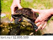 Купить «Photo picture Common turtle Slider Trachemys scripta animal reptile amphibian», фото № 32895509, снято 28 мая 2020 г. (c) easy Fotostock / Фотобанк Лори