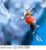 Плоды шиповника во льду после ледяного дождя. Стоковое фото, фотограф Евгений Горбунов / Фотобанк Лори