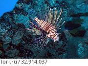 Купить «Рыба-зебра или полосатая крылатка (Pterois volitans)», фото № 32914037, снято 26 марта 2019 г. (c) Татьяна Белова / Фотобанк Лори