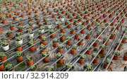 Купить «Picture of seedlings of tomatoes growing in pots in greenhouse, nobody», видеоролик № 32914209, снято 26 апреля 2019 г. (c) Яков Филимонов / Фотобанк Лори