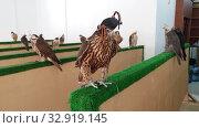 Купить «Selling falcons in Waqif Souq market in Doha, Qatar», видеоролик № 32919145, снято 10 января 2020 г. (c) Володина Ольга / Фотобанк Лори