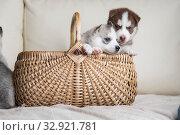 Купить «Husky puppies, two months old», фото № 32921781, снято 13 июля 2019 г. (c) Типляшина Евгения / Фотобанк Лори