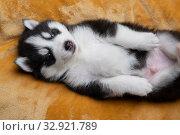 Купить «Husky puppies, two months old», фото № 32921789, снято 13 июля 2019 г. (c) Типляшина Евгения / Фотобанк Лори