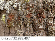 Купить «Parmelina quercina or Parmelia quercina is a foliose lichen that grows on tree bark. This photo was taken in Prades Mountains, Tarragona province, Catalonia, Spain.», фото № 32928497, снято 31 октября 2019 г. (c) age Fotostock / Фотобанк Лори