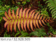 Costilla de vaca or Chilean hard fern (Blechnum chilense or Parablechnum cordatum) is a fern endemic to Chile and Argentina. Frond detail. This photo was... Стоковое фото, фотограф J M Barres / age Fotostock / Фотобанк Лори