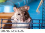 Купить «Brown curious domestic rat closeup», фото № 32934009, снято 16 октября 2010 г. (c) Argument / Фотобанк Лори