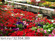 Купить «View of different bloomy flowers begonia growing in greenhouse», фото № 32934389, снято 7 августа 2020 г. (c) Яков Филимонов / Фотобанк Лори