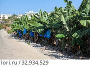 Banana plantation is on Tenerife island, Canary. Green trees under sun, fruits grow in clusters hanging from the top of the plant. Стоковое фото, фотограф Кекяляйнен Андрей / Фотобанк Лори