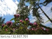 Купить «Розовый клевер», эксклюзивное фото № 32937701, снято 10 июля 2019 г. (c) Анатолий Матвейчук / Фотобанк Лори