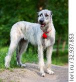 Купить «Irish Wolfhound portrait», фото № 32937853, снято 19 мая 2019 г. (c) Сергей Лаврентьев / Фотобанк Лори