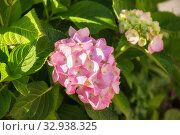 Купить «Pink hydrangea or hortensia flower in the garden», фото № 32938325, снято 12 июля 2018 г. (c) Юлия Бабкина / Фотобанк Лори