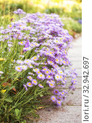 Perennial aster in garden. Стоковое фото, фотограф Юлия Бабкина / Фотобанк Лори