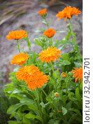 Купить «Цветы календулы», фото № 32942701, снято 12 июля 2018 г. (c) Юлия Бабкина / Фотобанк Лори