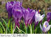 Фиолетовые и сиреневые крокусы (лат. Crocus) крупным планом. Стоковое фото, фотограф Елена Коромыслова / Фотобанк Лори